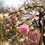 久しぶりの運動ブログラム。桜を見に行きました。